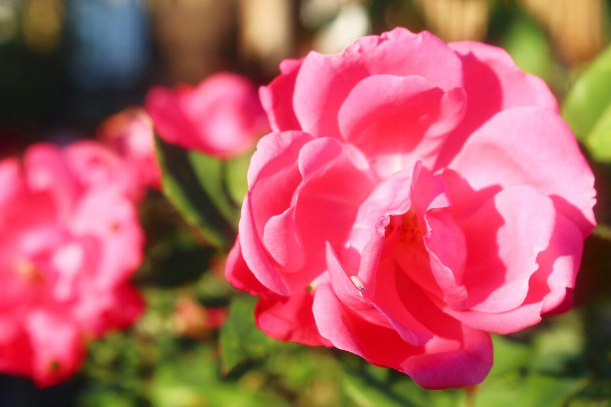 おふさ観音秋のバラまつり!カラフルなバラが咲き、香りに包まれる境内は必見