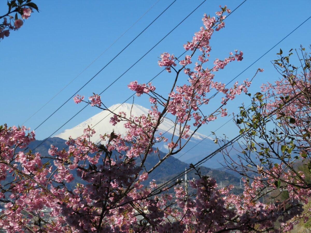 【まつだ桜まつり】絶妙のバランスで色彩が溶け合う河津桜、菜の花、富士山