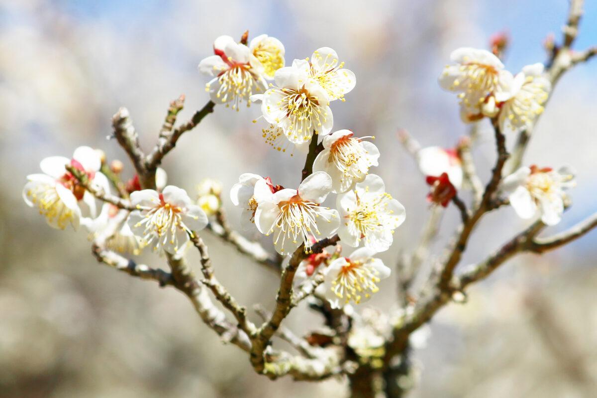 成田の梅まつり2021スタート!成田山公園の梅が満開、催し物も開催の初日速報