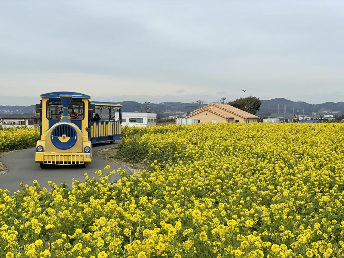 横須賀【ソレイユの丘 菜の花まつり】春の足音が!菜の花と富士山の競演!