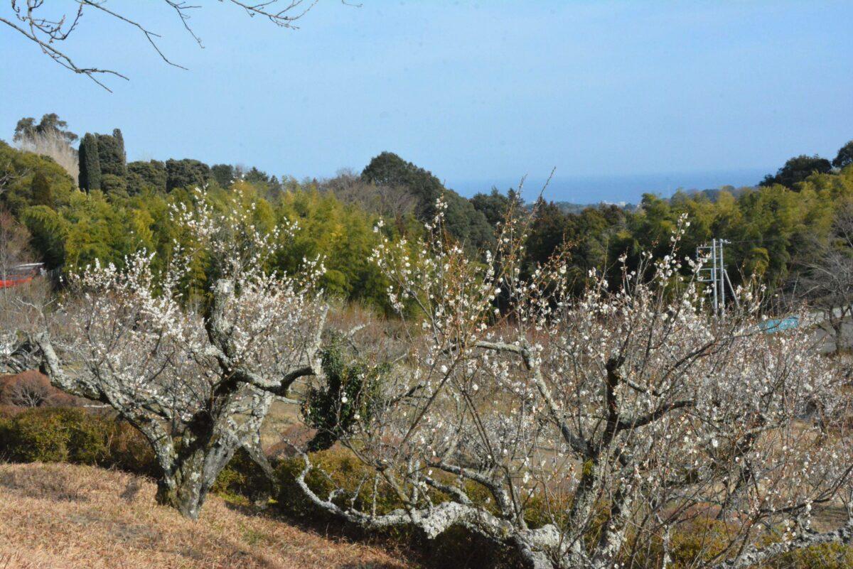 【辻村植物公園梅まつり】いこいの森の斜面を覆う初春の小田原の市の花