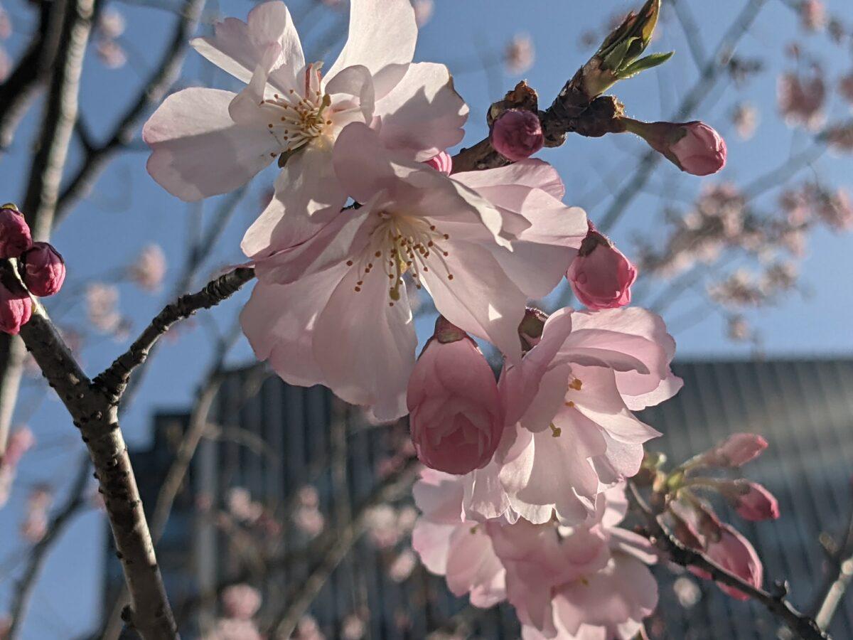 桜まつり The Okura Tokyo - 虎ノ門エリアの伝統的ホテルに咲くサクラ達-