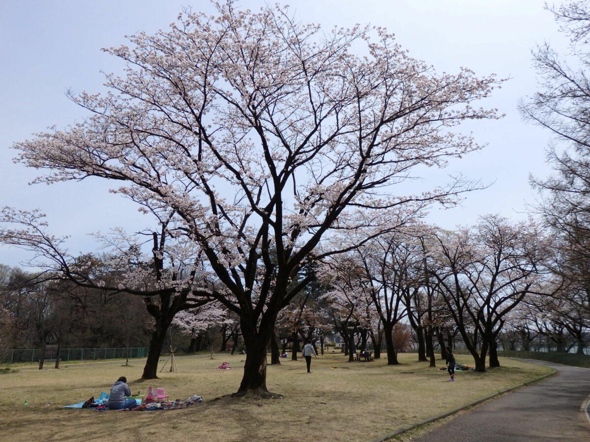 【狭山湖の桜】ジブリのとなりのトトロのモデルとなった里山の早春の彩り