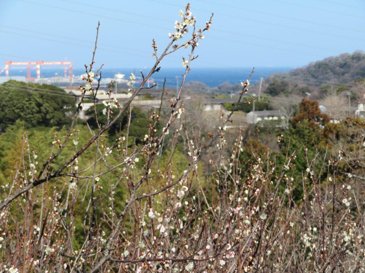 【田浦梅林まつり】眼下に東京湾を望む「かながわ花の名所100選」