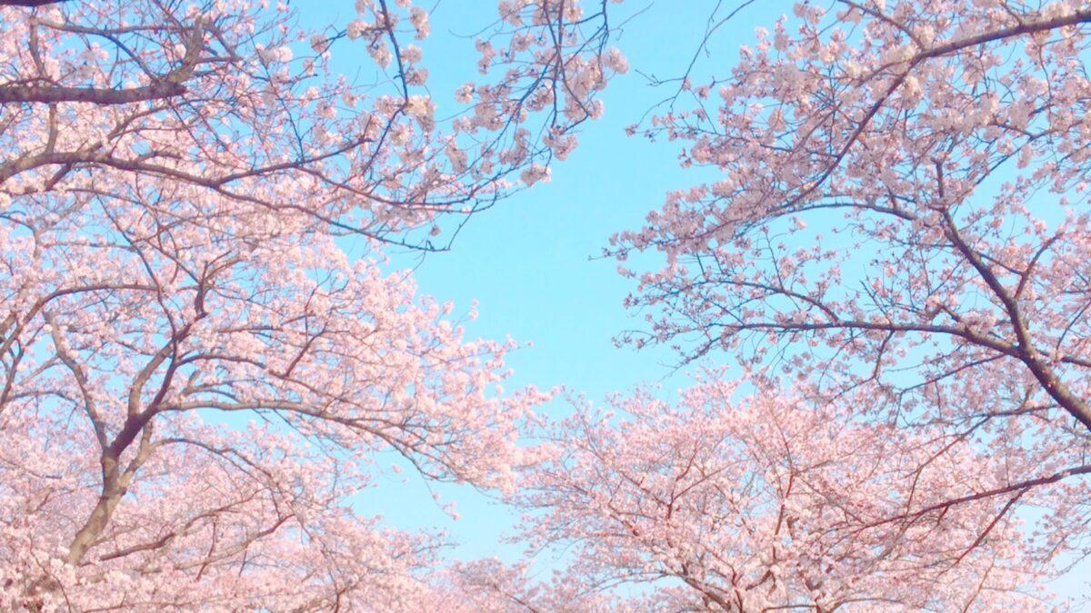 VR花見でお家にいながら桜が見れる?!体験方法を一挙に紹介!