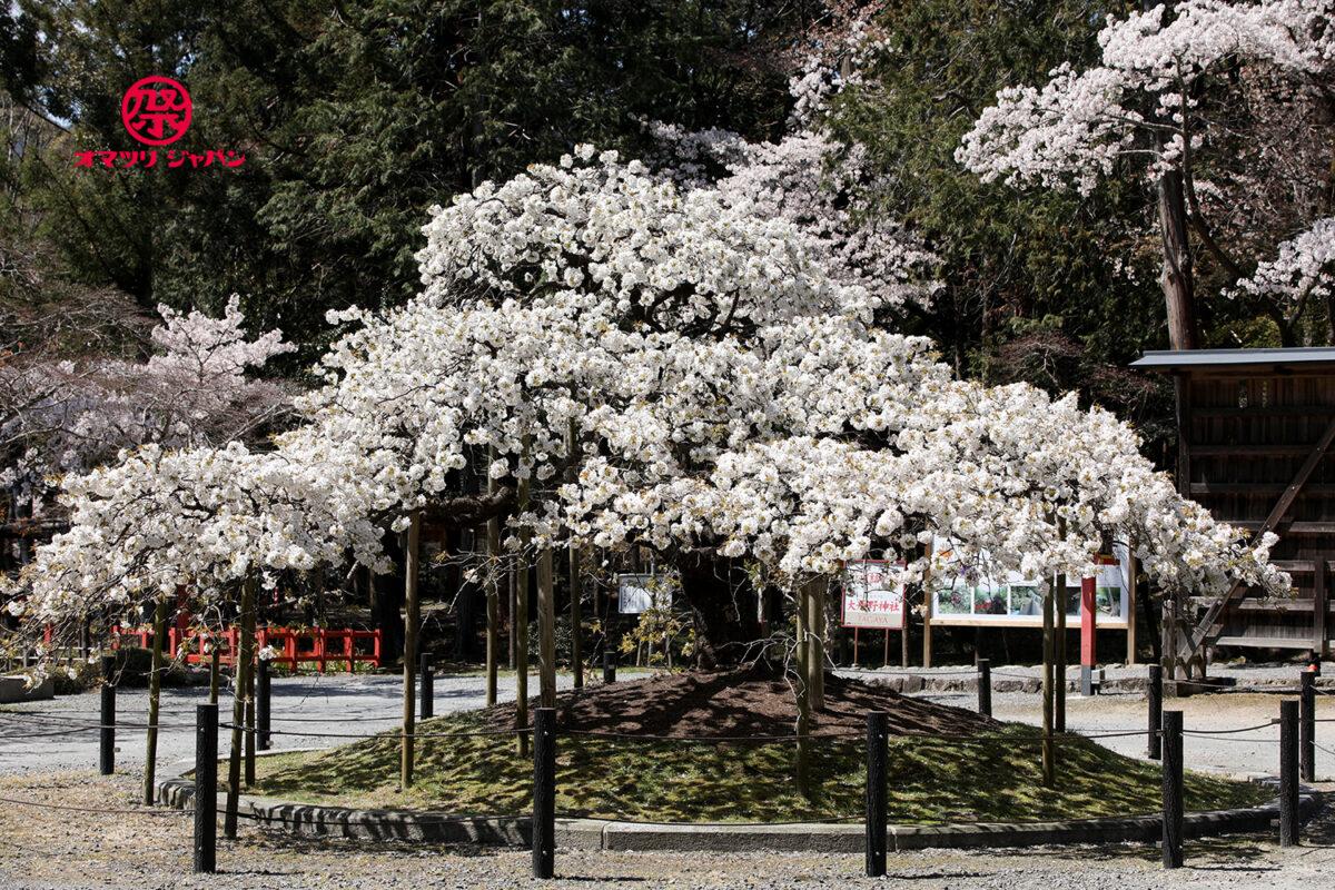 三日間だけ咲く幻の桜「千眼桜」京都 大原野神社