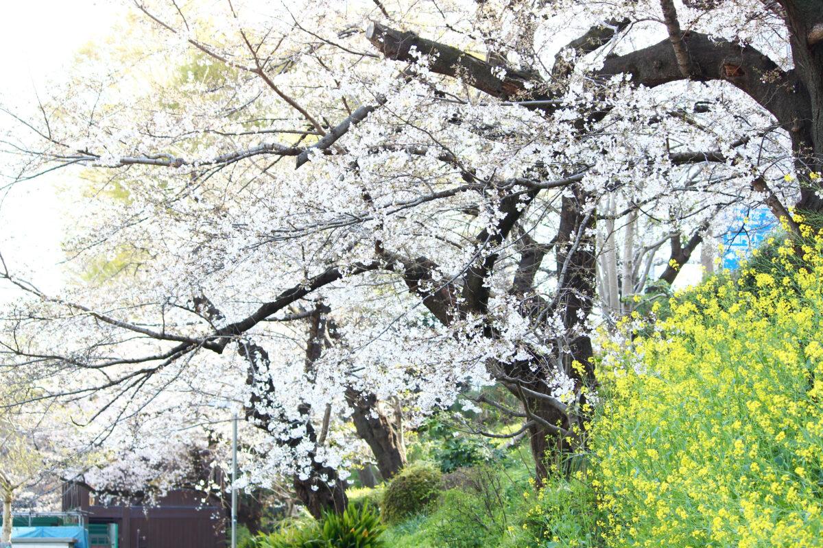 外濠公園は駅チカの桜スポット!市ヶ谷、四ツ谷から歩いて行ける憩いの場