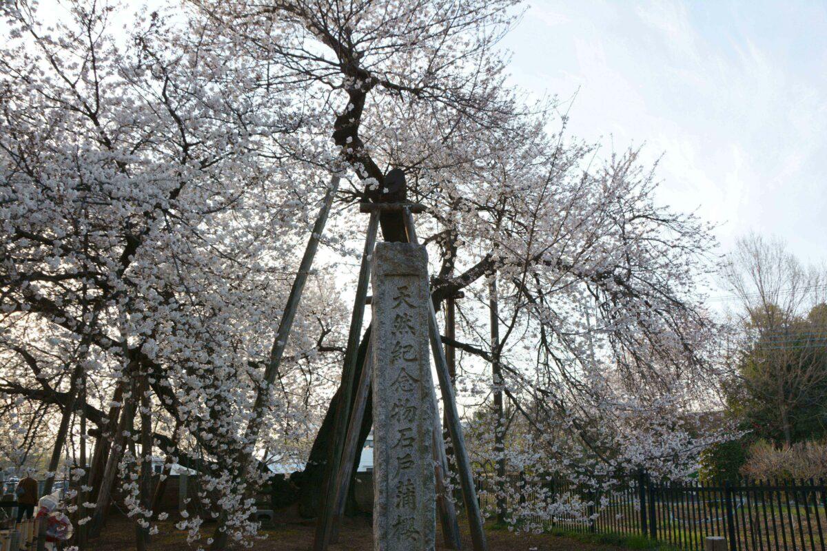 【東光寺蒲桜祭】日本五大桜に数えられる埼玉県北本市の石戸蒲ザクラ