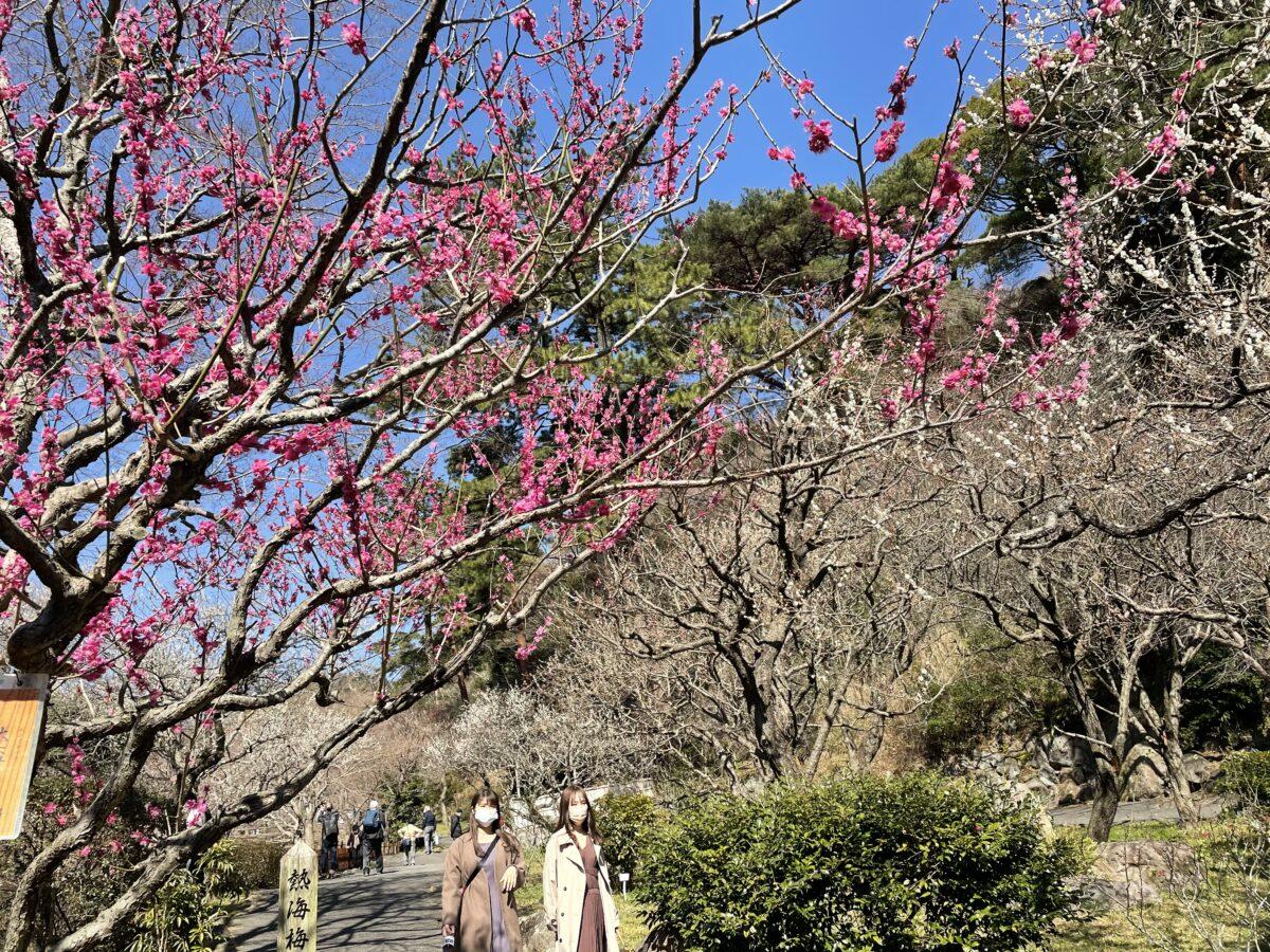 【熱海梅園梅まつり】60品種469本の梅が咲き誇る!春の熱海日帰り旅!