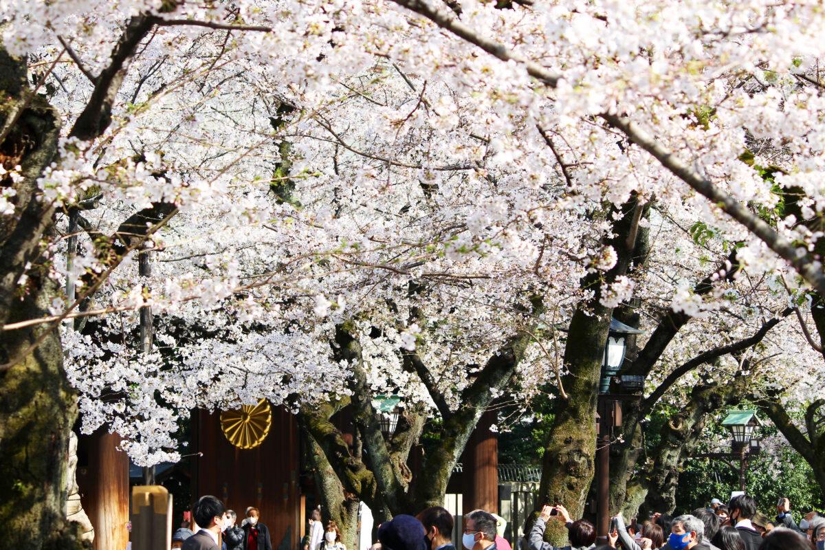 靖國神社にある東京の桜の標本木!開花を告げる桜と満開の境内を速報で紹介