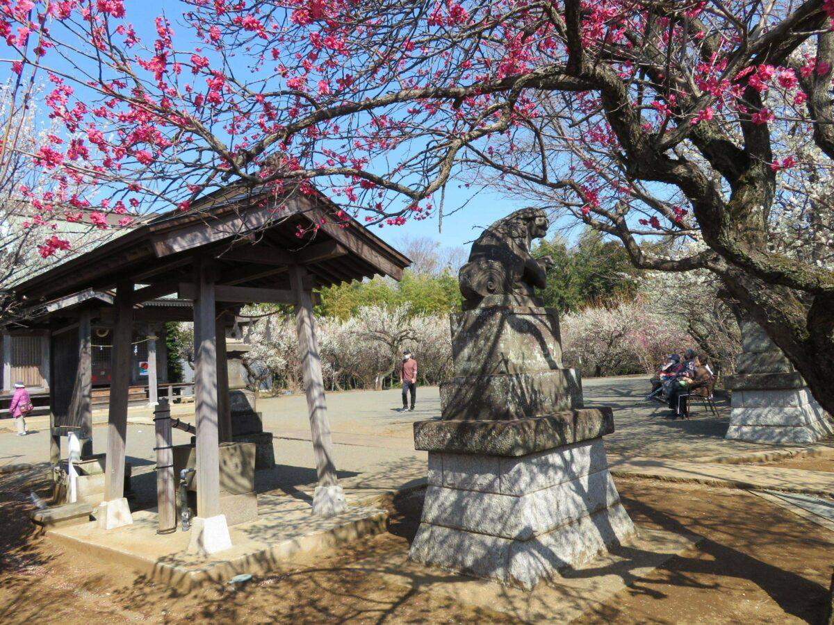 【東方天満宮観梅会】紅梅と白梅がバランスよく装飾する手水舎や狛犬