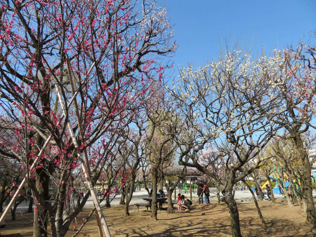 【赤塚梅まつり】高島平のマンモス団地の城跡を彩る溜池公園の早春の花
