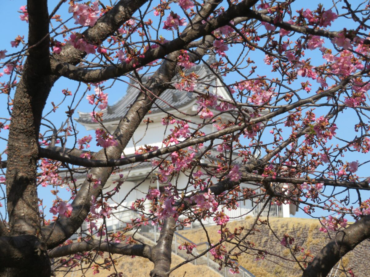 【宇都宮城桜まつり】早春の彩りで清明台や富士見櫓を装飾する河津桜