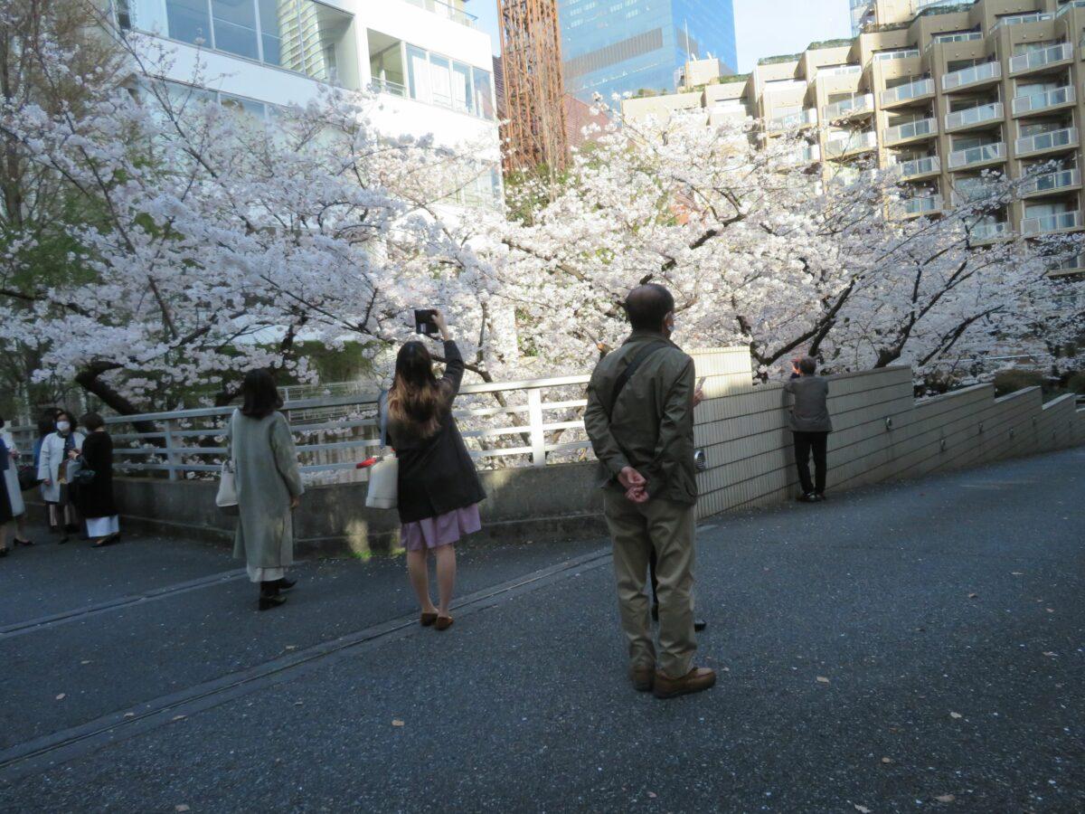 【アークヒルズの桜】薄紅色の花で覆われるサントリーホールやカラヤン広場