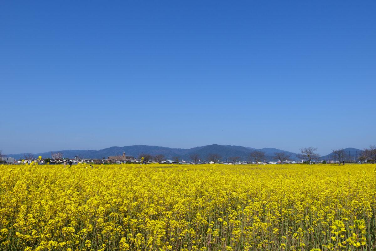 菜の花と桜の穴場、奈良「藤原宮跡」で風景写真を楽しもう