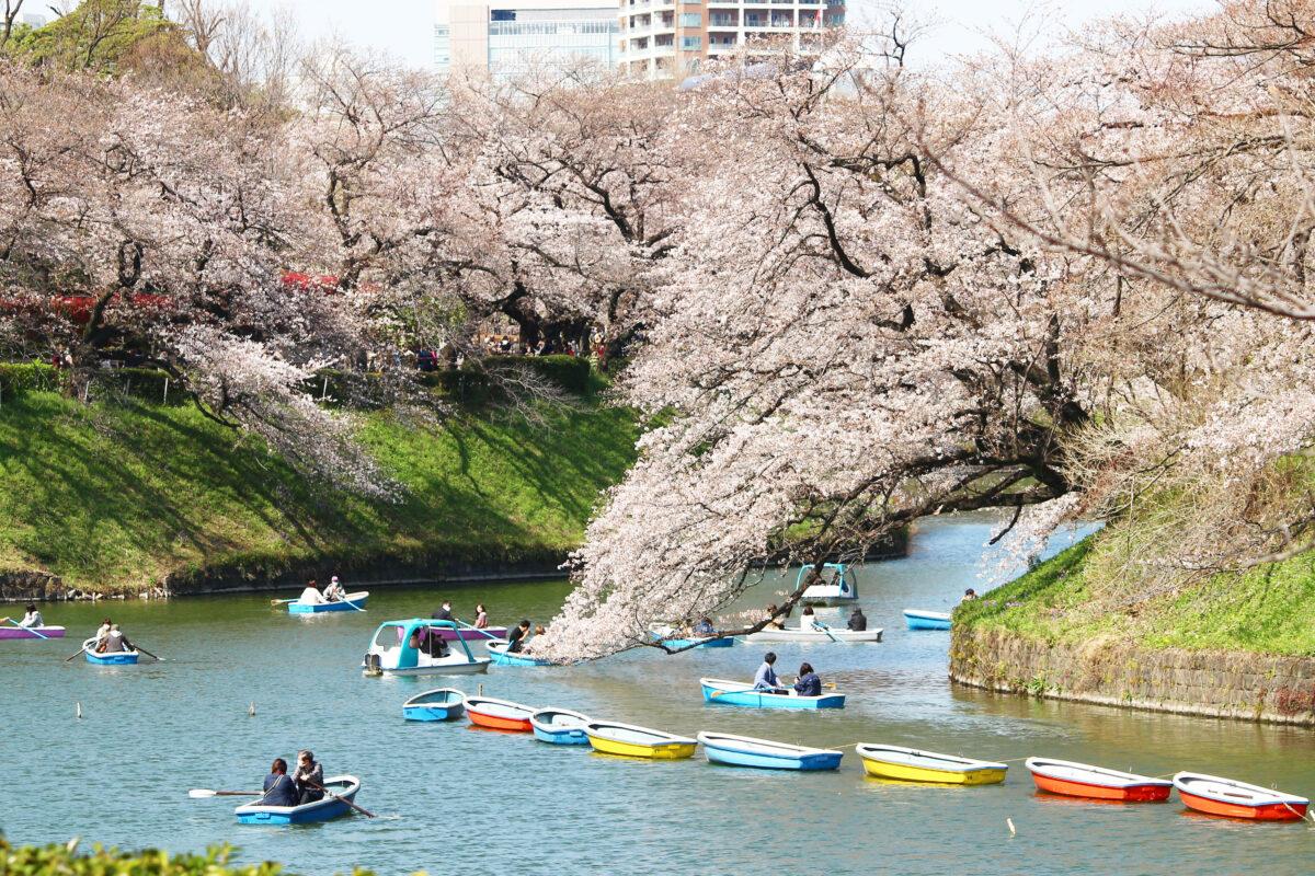 千鳥ヶ淵緑道の桜が満開!3月22日から、お堀のボート場もオープン!