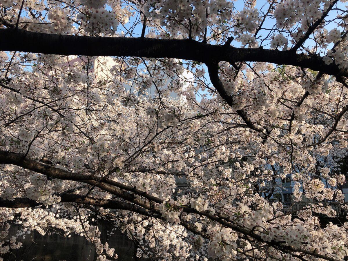 【東京さくらトラム】「面影橋」はレトロな雰囲気漂う街と桜が相性◎