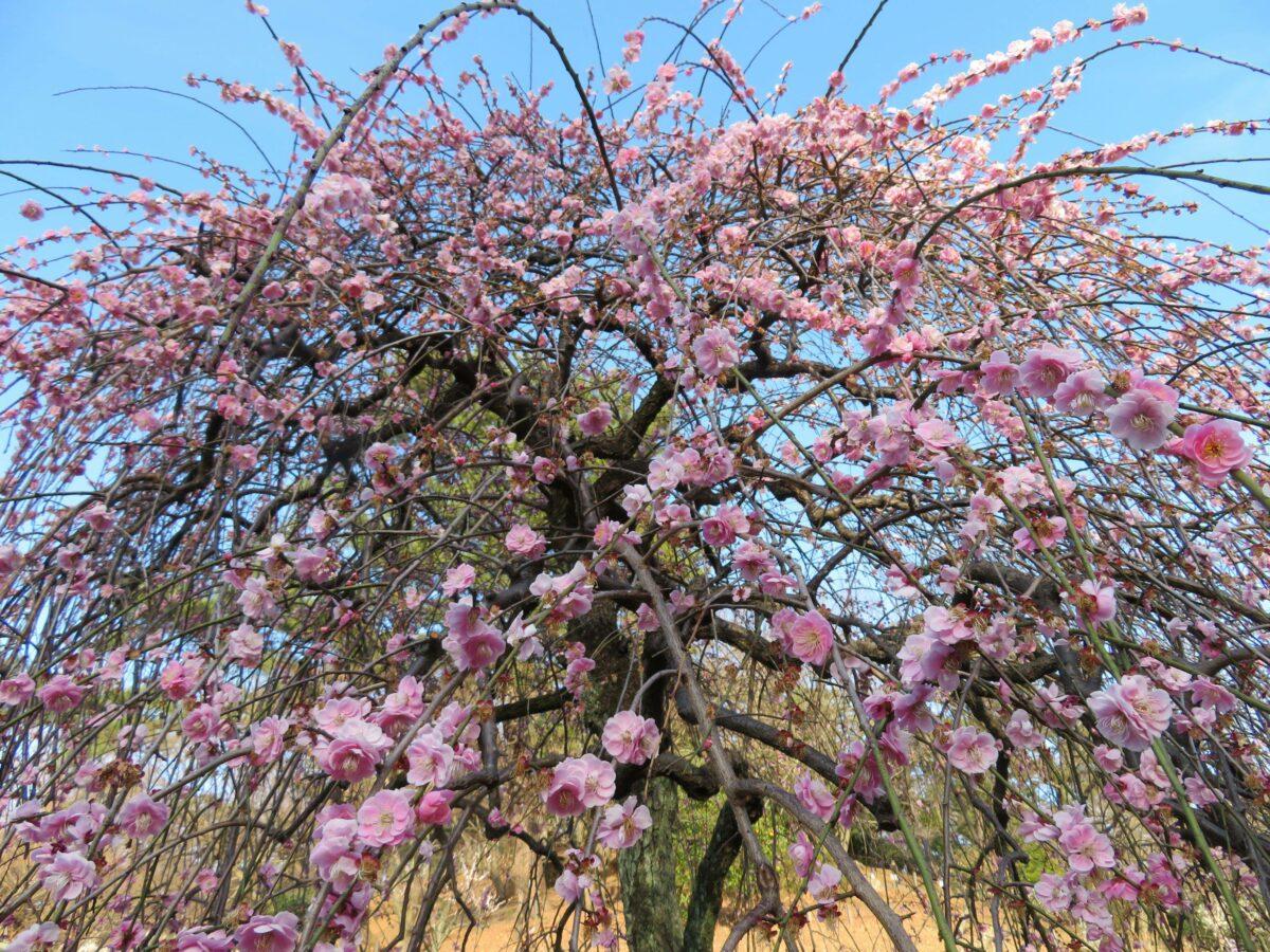 【大倉山観梅会】梅林の中央で紅白の色彩のコントラストを見せる枝垂梅