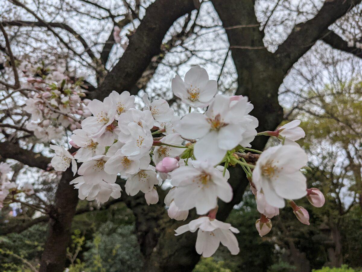 桜まつり 国際文化会館 -旧岩崎邸庭園に咲く美しい桜と春の食事-
