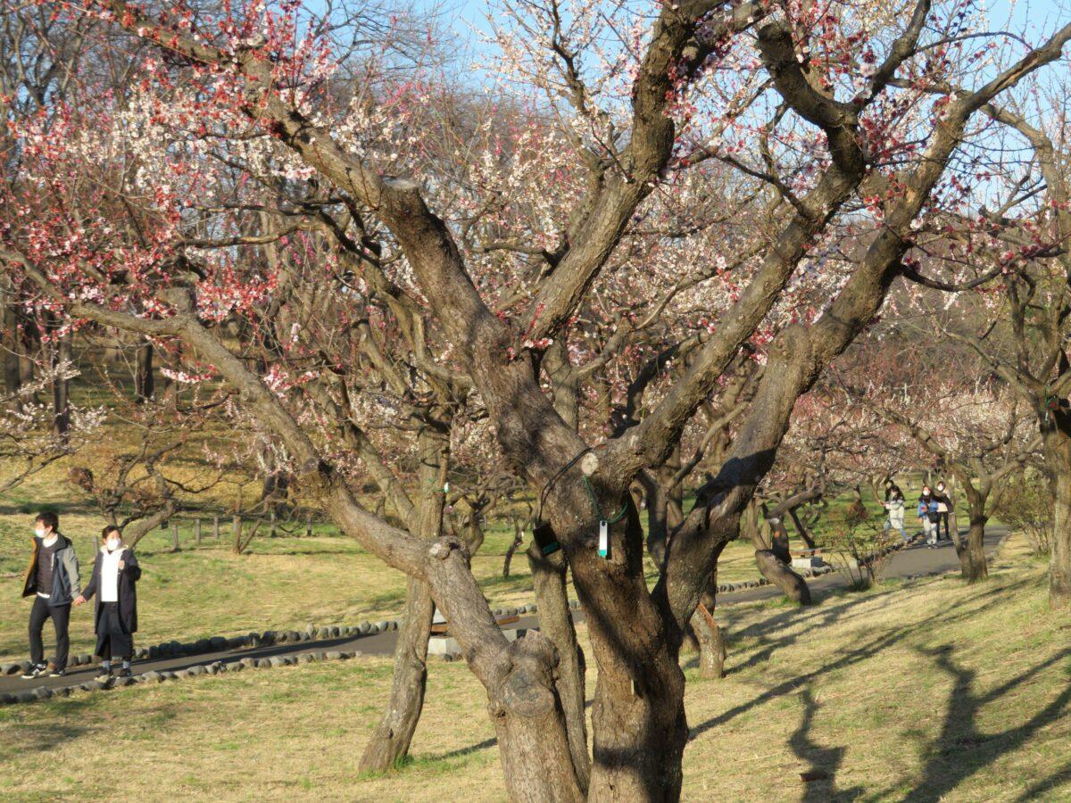 【根岸森林公園梅まつり】横浜では最多の梅が育つ日本の競馬場第一号の跡地