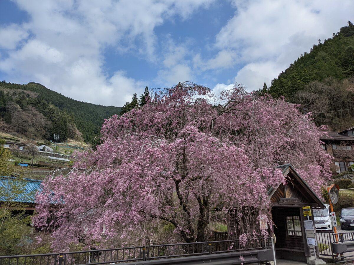 東京・西多摩エリアの桜 日の出町、檜原村、青梅市の名所めぐり