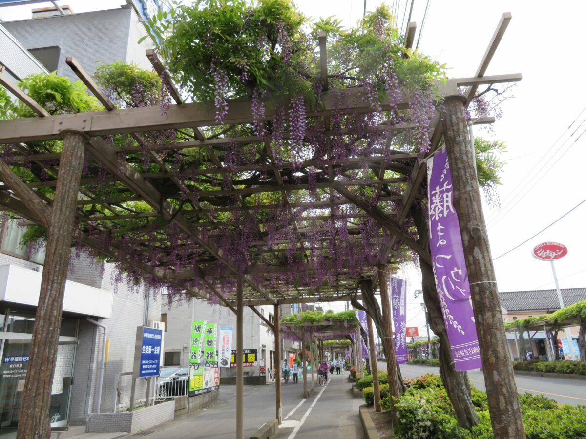 春日部藤まつりで街路樹の藤棚を楽しもう。日本一の長さを誇るふじ通りとは?