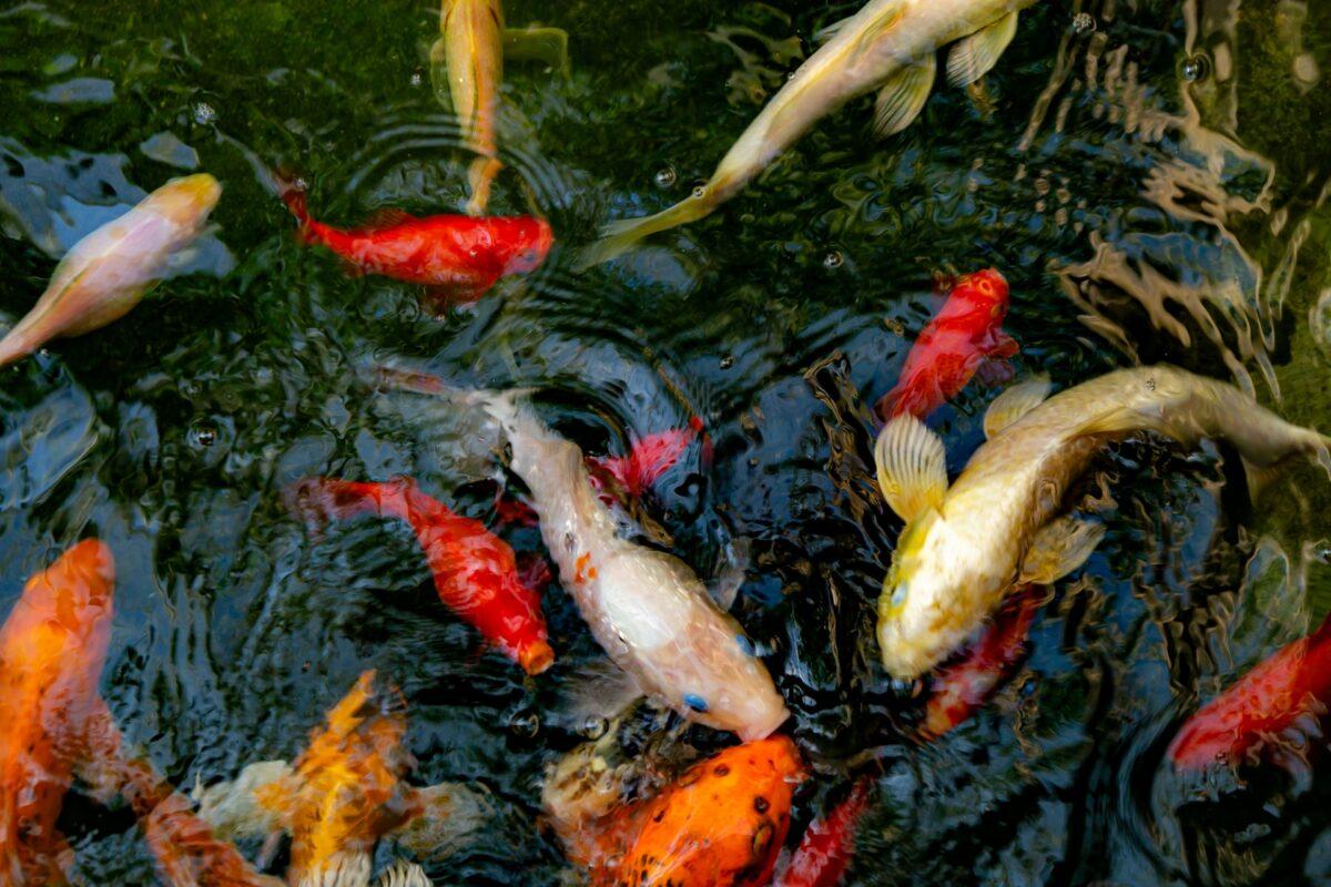 鯉にまつわるお全国のお寺を紹介!「鯉」が運気を呼び寄せるって本当?