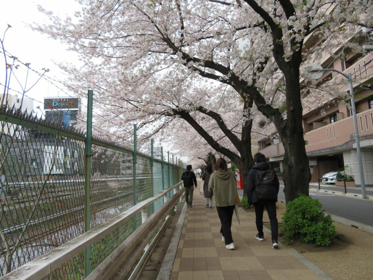 【すがも桜並木通りの桜】薄紅色の花の下を行き交うJR山手線の電車