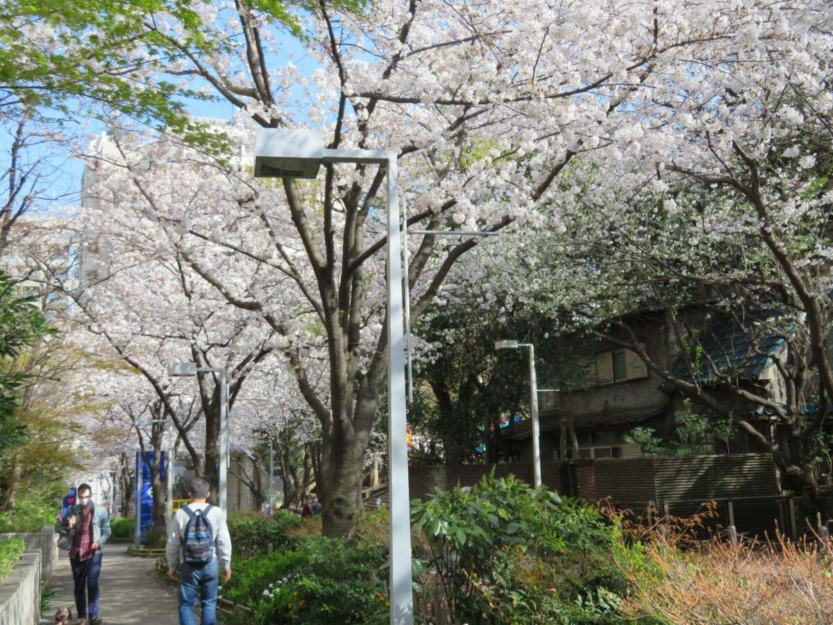 【六本木さくら坂の桜】けやき坂の南でヒルズ族になった気分で花見散策