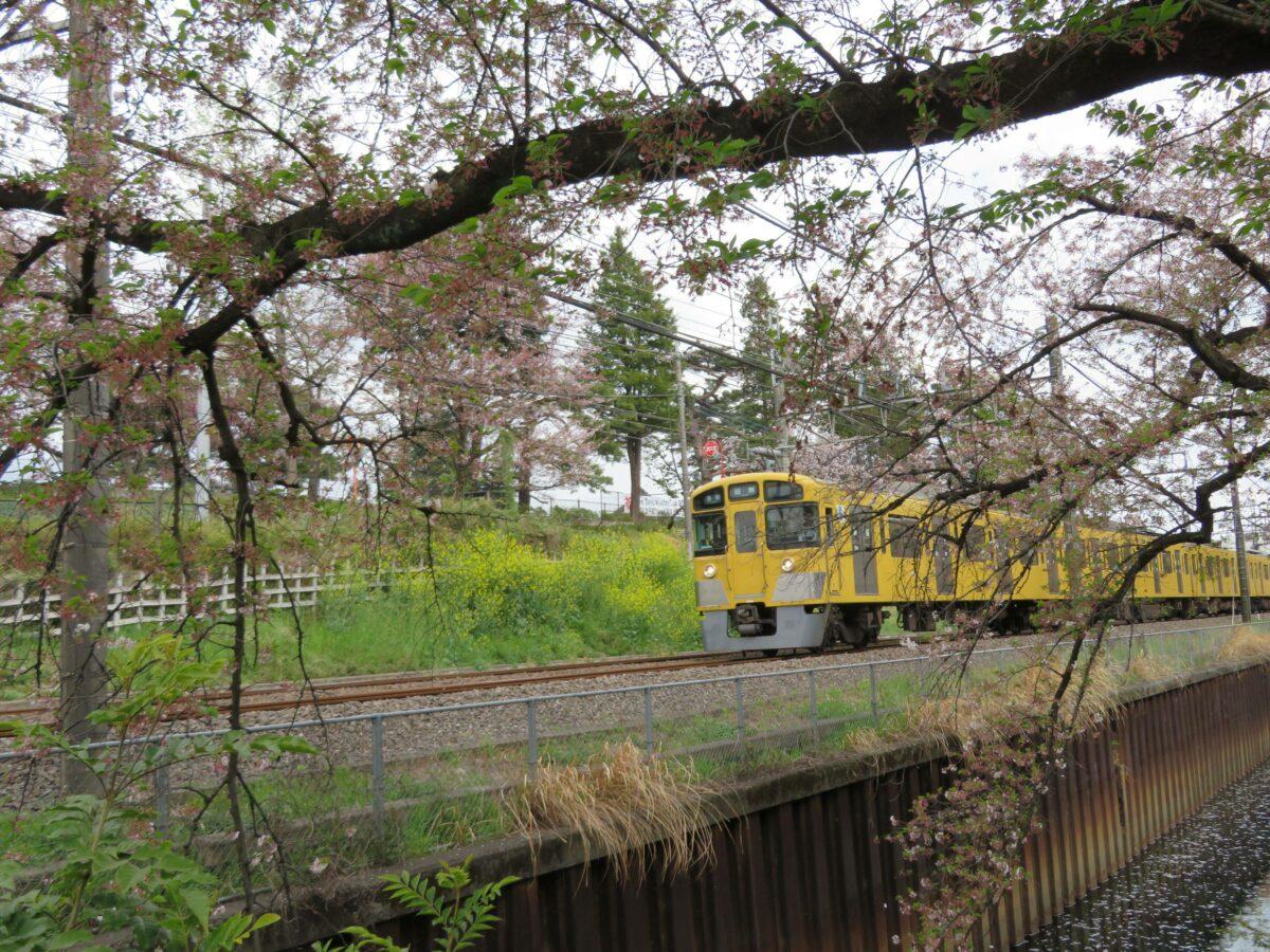 【西武新宿線で車窓花見】武蔵関~東伏見の区間で南側に流れる桜並木