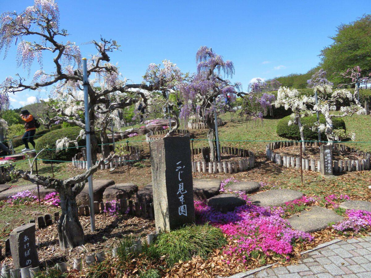 藤岡ふじまつりが開催中。植えられている品種は45種類!?