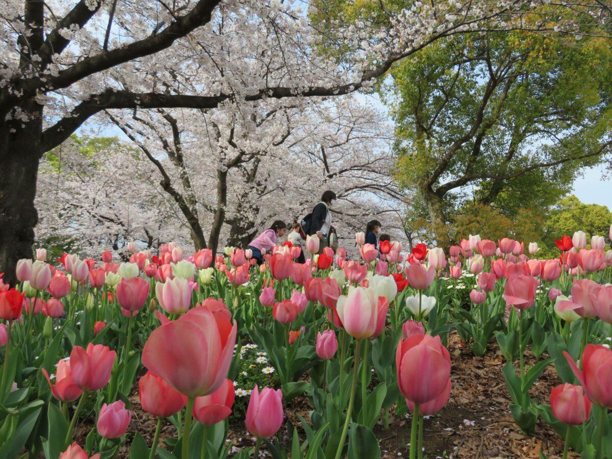 【舟渡桜まつり】荒川の跡地を整備した浮間公園を彩る桜やチューリップ