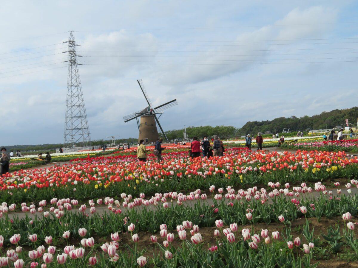 佐倉チューリップフェスタが開催中!彩り豊かな風車がシンボルのふるさと広場