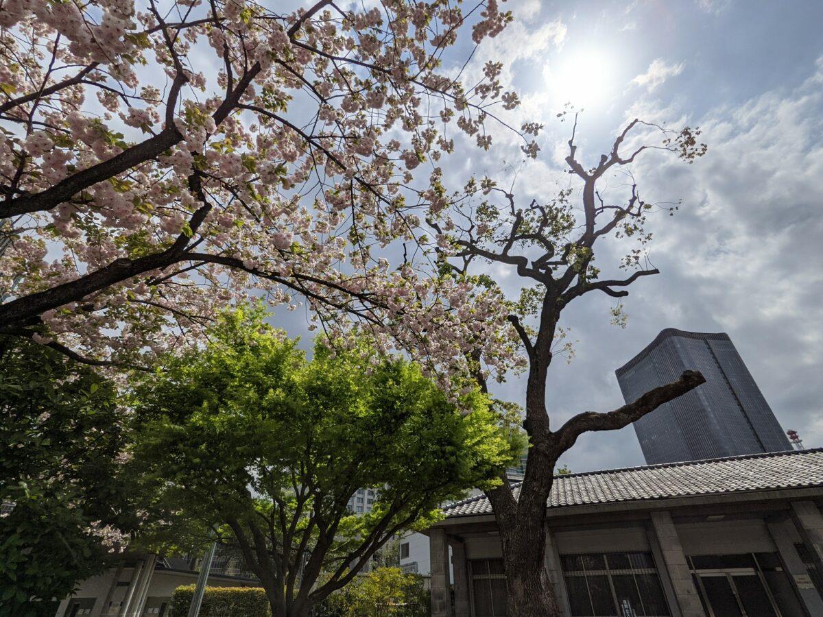 皇居外苑で桜は見れる?知られざる歴史と合わせてご紹介