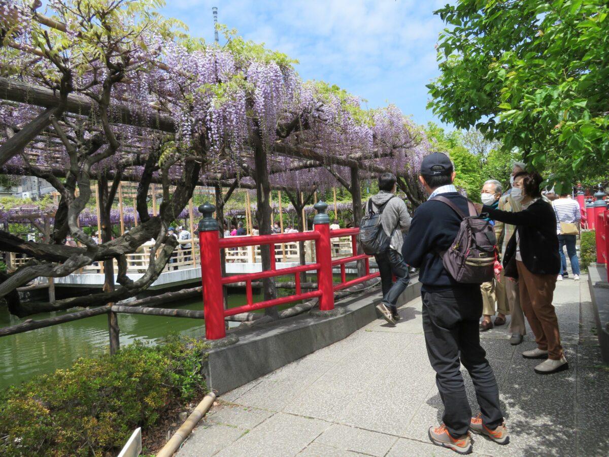 亀戸天神社藤まつりが開催中!東京一の藤の名所では期間限定御朱印も
