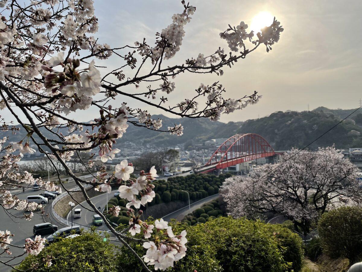【広島県呉市】夕焼けの「音戸の瀬戸」の桜とカキ加工体験現地レポート