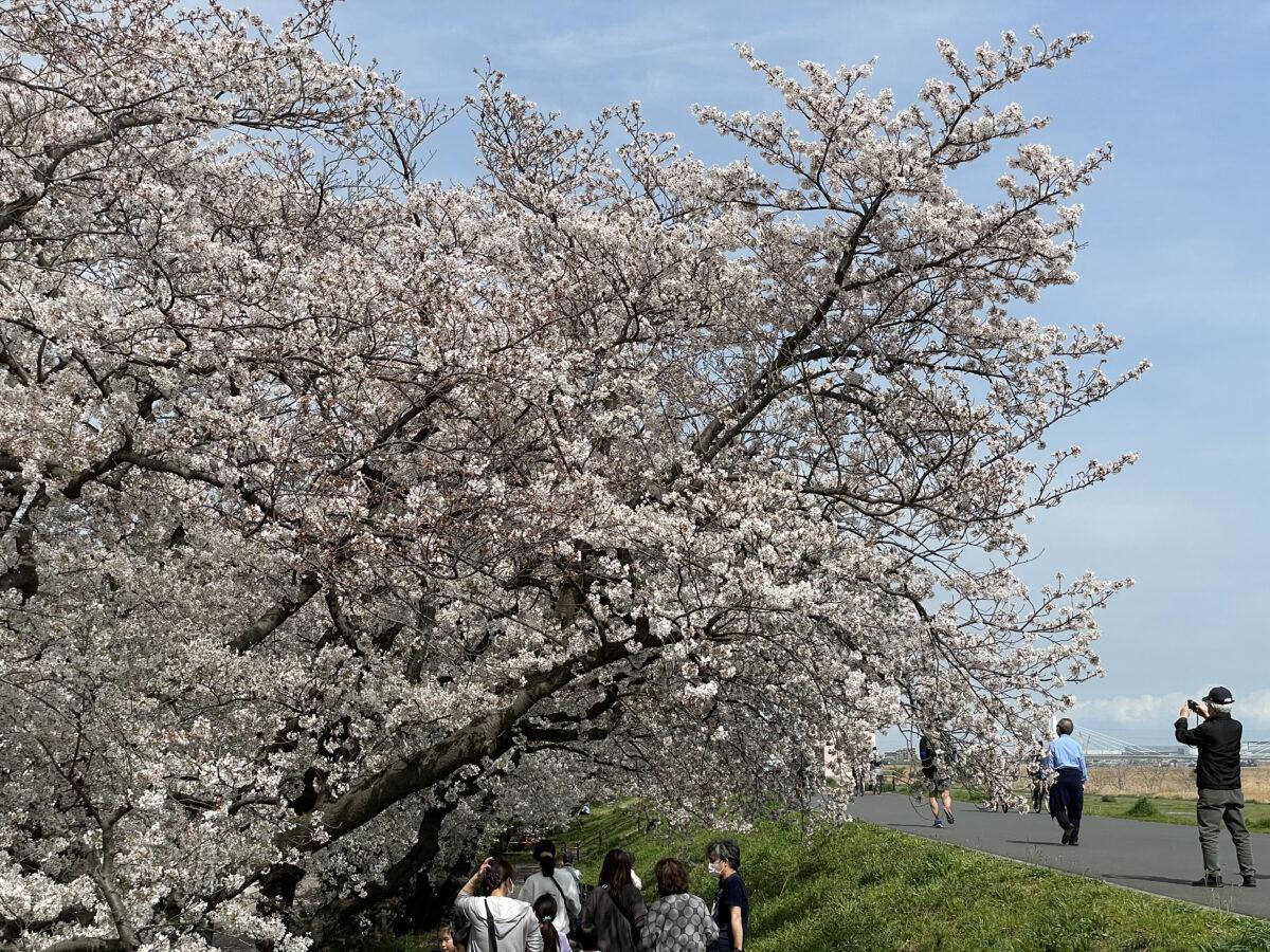 【六郷土手の桜】多摩川沿いゆったり土手散策