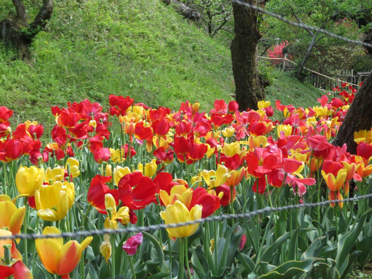 【吾妻公園チューリップまつり】桐生市の吾妻山麓に広がる植物園の春の主役