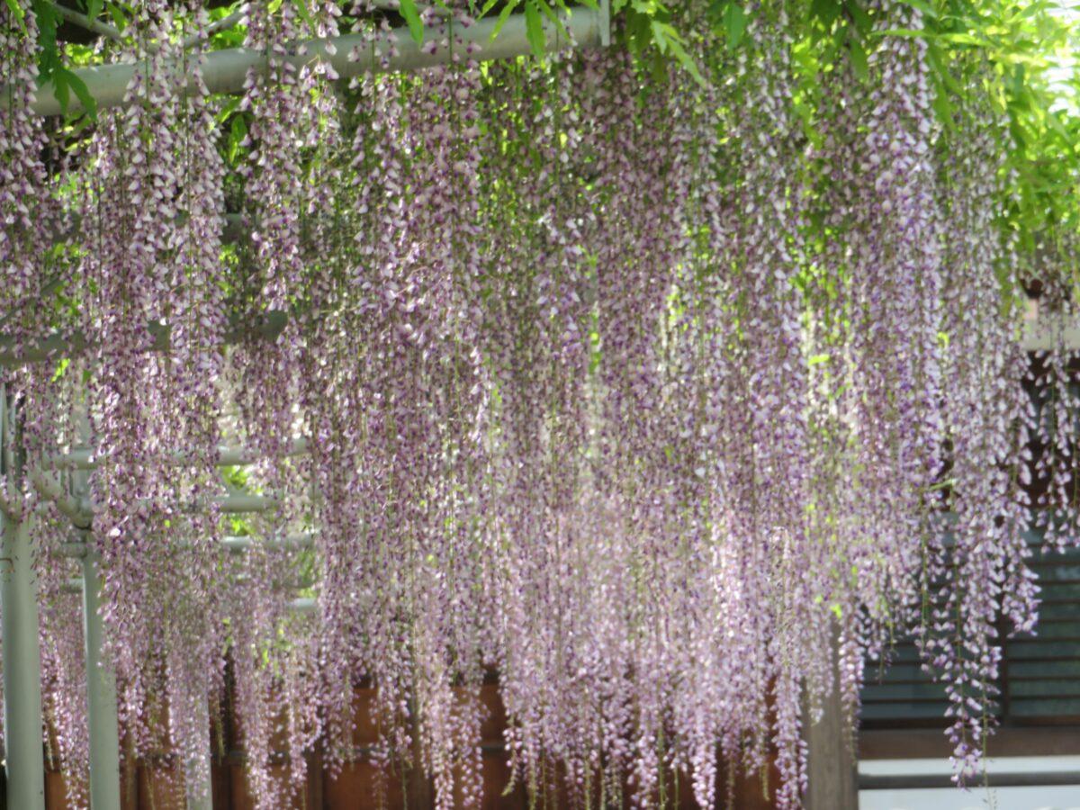 宮久保山高圓寺藤まつりで楽しめる推定樹齢200年を超える長寿藤、その魅力とは。
