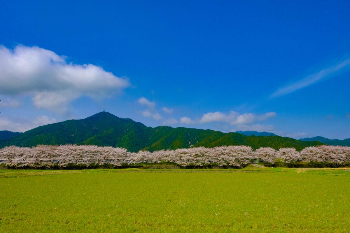 加古川堤防の桜並木は1000本の桜が5kmに及ぶ絶景!しかも超穴場!
