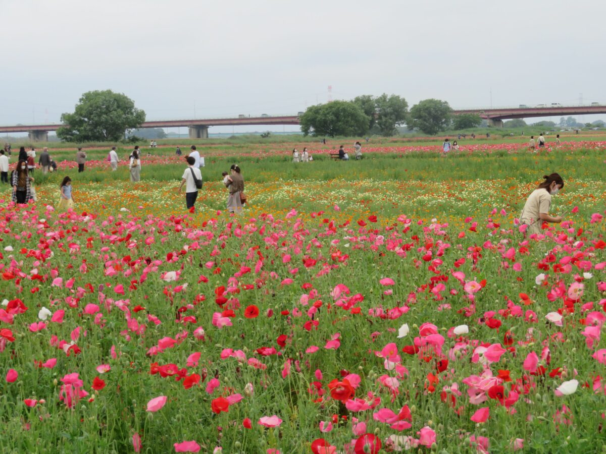 鴻巣ポピーまつりで川幅日本一の荒川河川敷を彩るポピー。驚きのその数とは