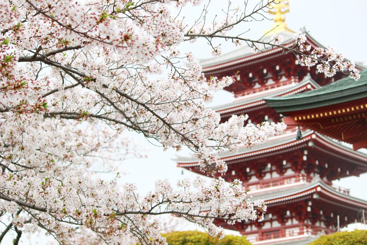 浅草寺の桜!仲見世、境内に咲き誇る桜が美しい。スカイツリーと桜の競演も