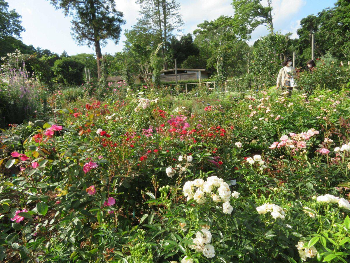 佐倉ローズフェスティバルが開催中!世界で評価されるバラの種類は?