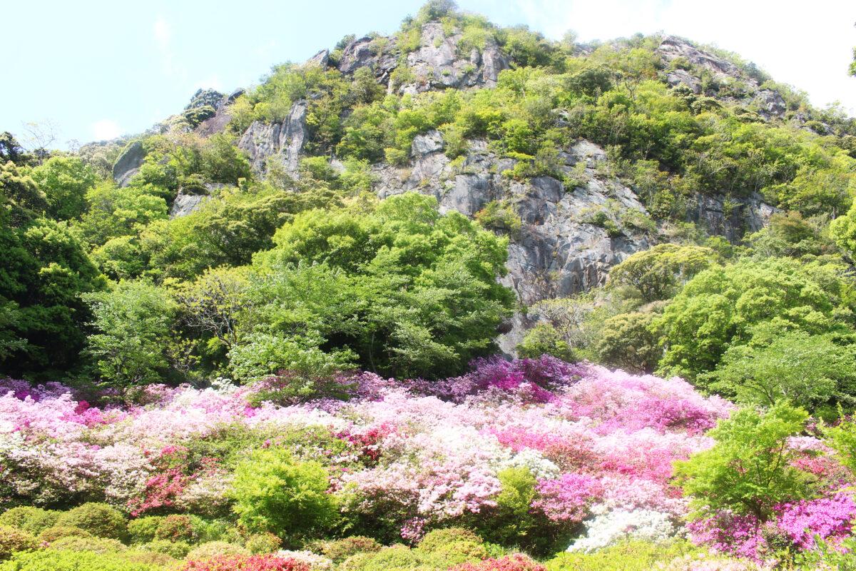 御船山楽園花まつり2021!20万本のつつじ、大藤に春もみじが彩り輝く空間