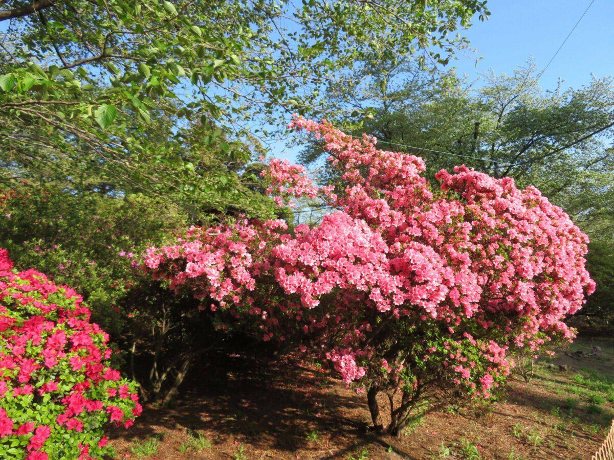 華蔵寺公園花まつりではどんな花が楽しめる?入場無料の遊園地も!