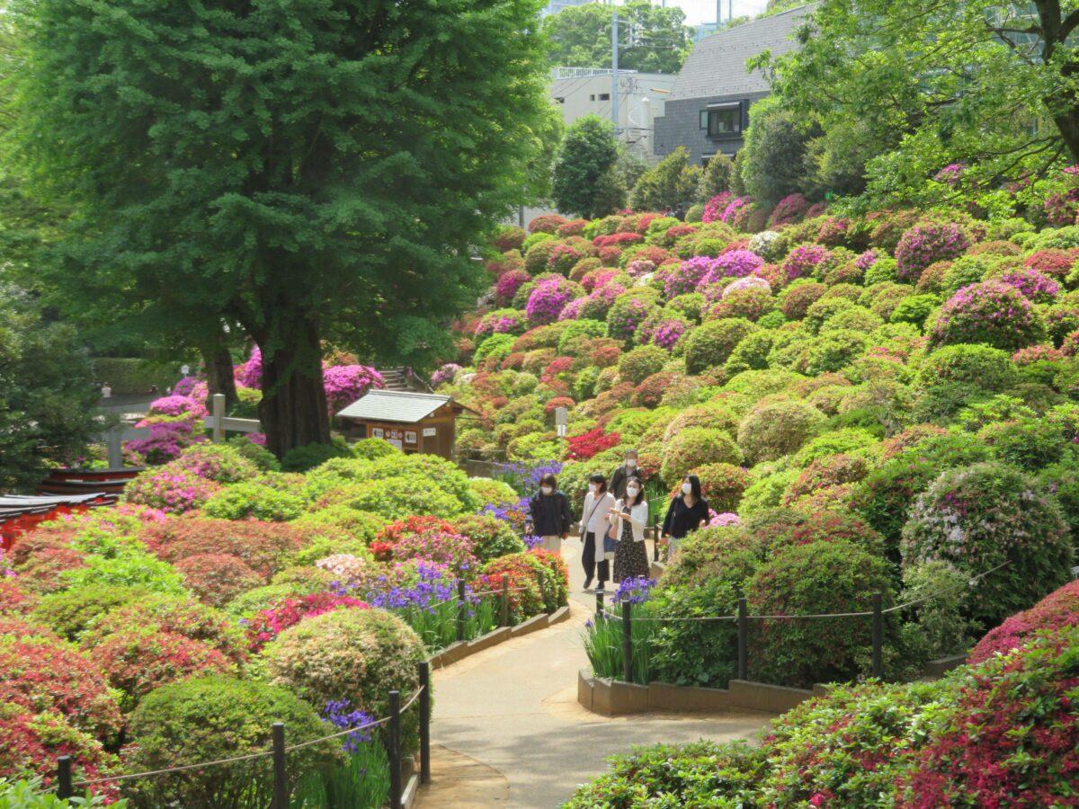 文京つつじまつりの魅力とは?根津神社を彩るつつじの数は…?
