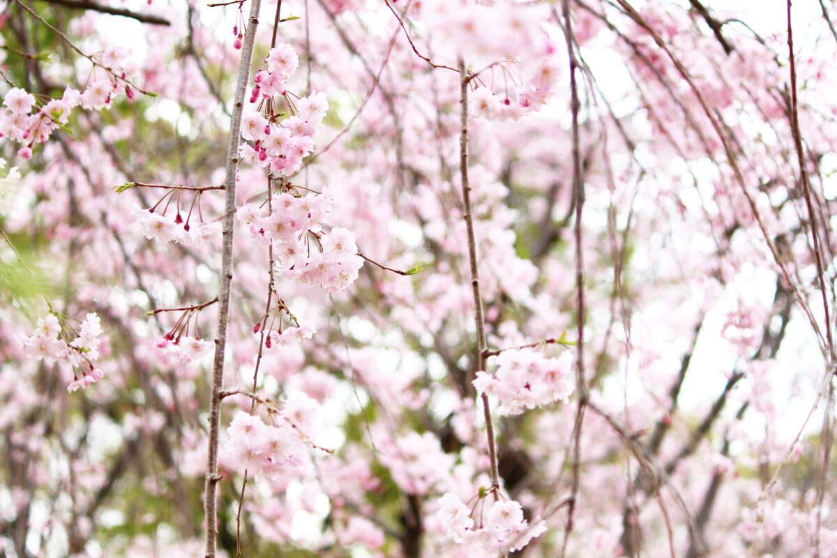 尾久の原公園の桜が見事!200本以上の桜が咲き誇る荒川区のおでかけスポット