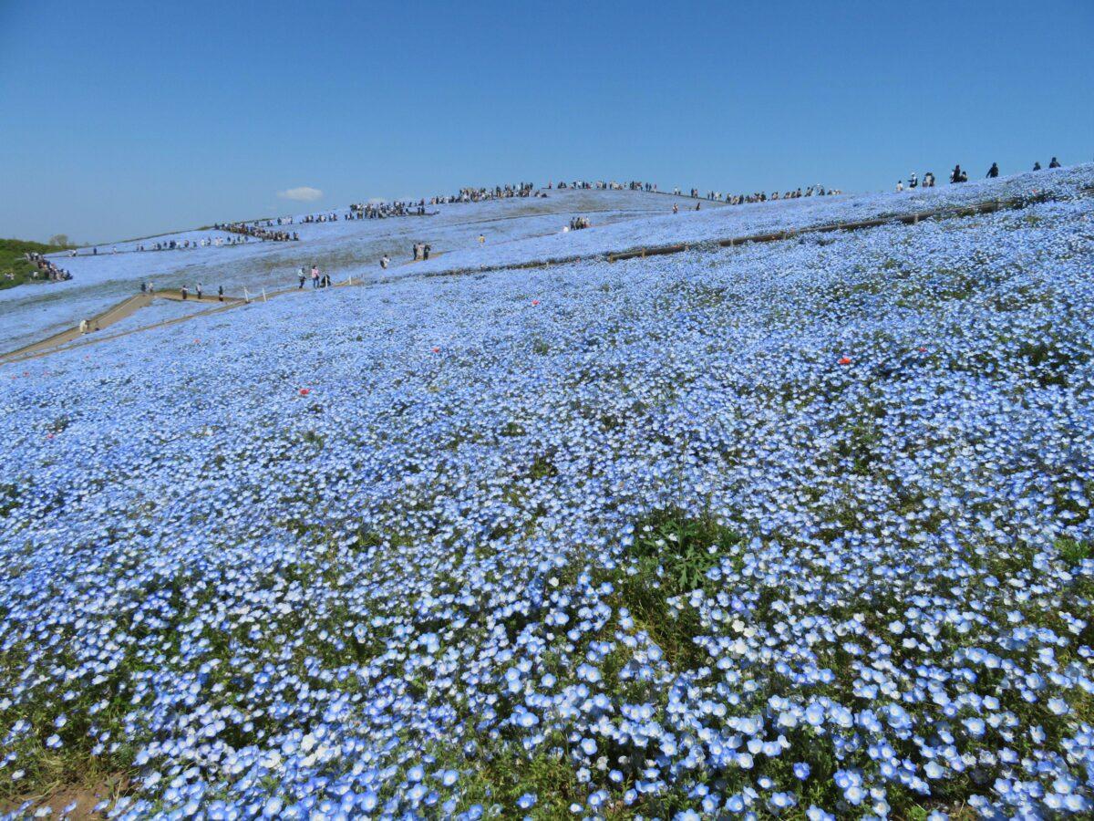 ひたち海浜公園ネモフィラハーモニーで空や海に溶込む約530万の可憐な花