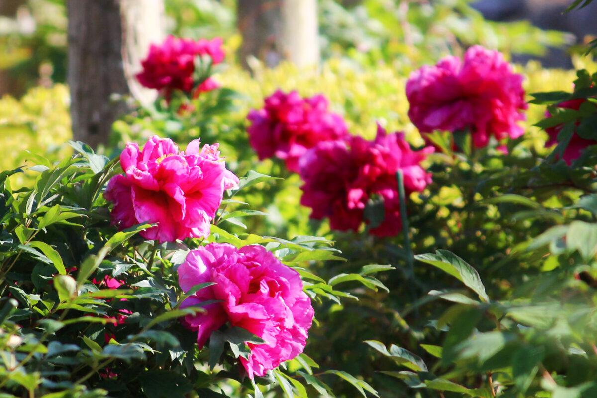 ぼたんと芍薬まつり2021!九州最大級の広さで咲き誇る2種の花を唐津で見よう