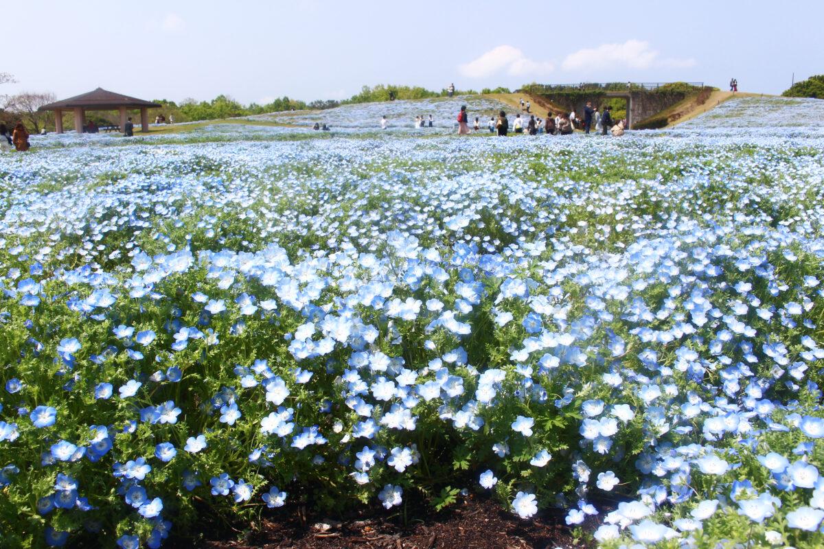 海の中道フラワーピクニック2021!120万本のネモフィラが瑠璃色に広がる公園